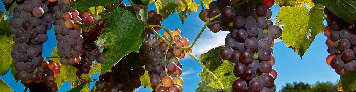 Grapes at UMass Cold Spring Orchard