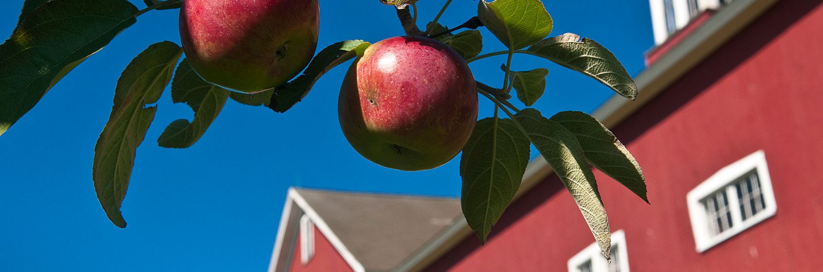 Cold Spring Orchard barn and apple tree